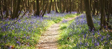 Bluebells in Kent forest